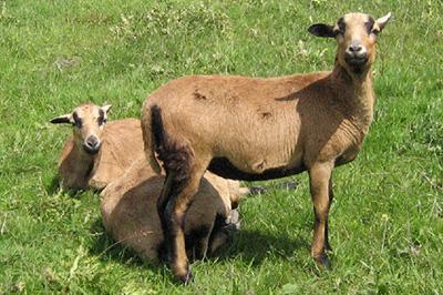 pecora-camerun